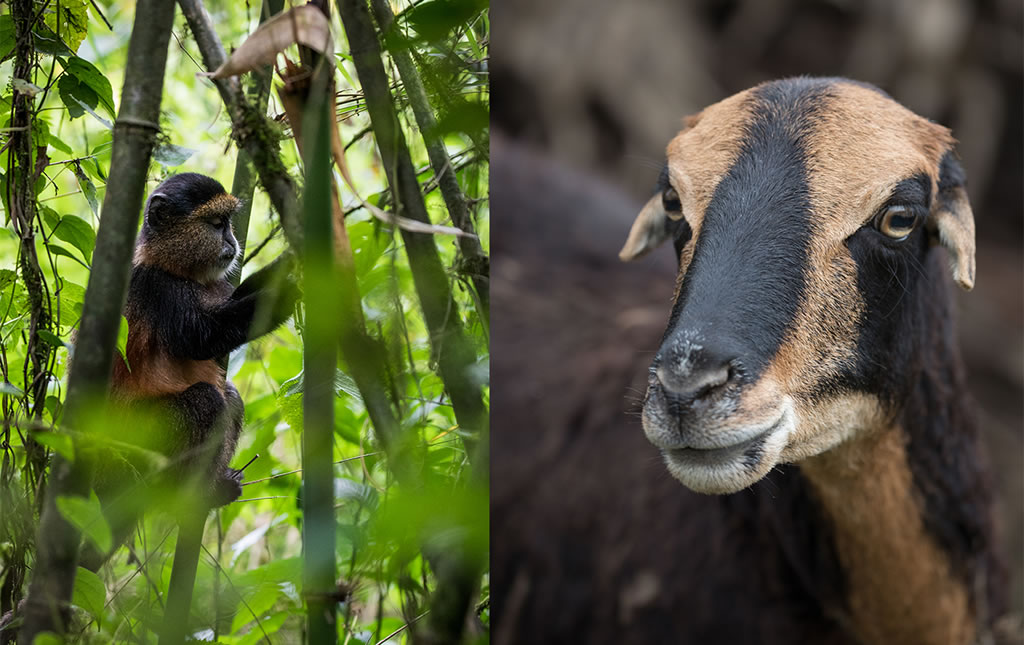 Los Gorilas de Ruanda -foto11