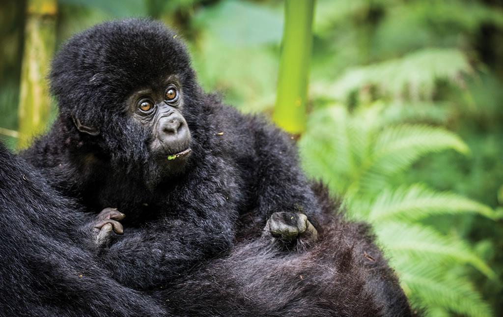 Los Gorilas de Ruanda -foto7