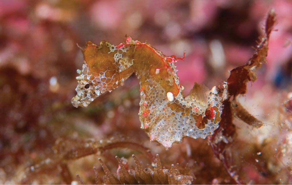 Científicos descubren una nueva especie de caballito de mar en Japón - Caballito de mar 1