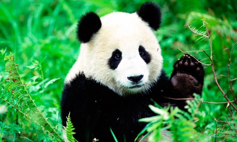 Animales que ya no se encuentran en peligro de extinción - osos-panda
