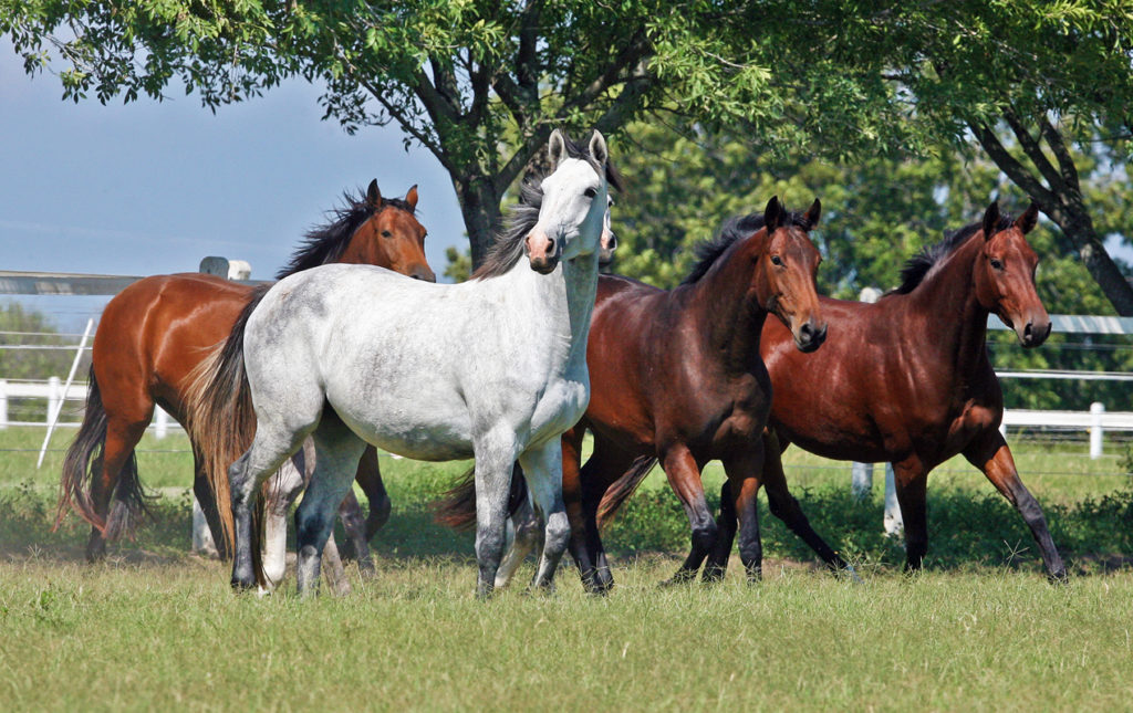 Rancho Hípico La Silla en Monterrey, el criadero más importante de caballos de salto en México. - PORTADA equino hipico salto caballo semental monterrey grupo