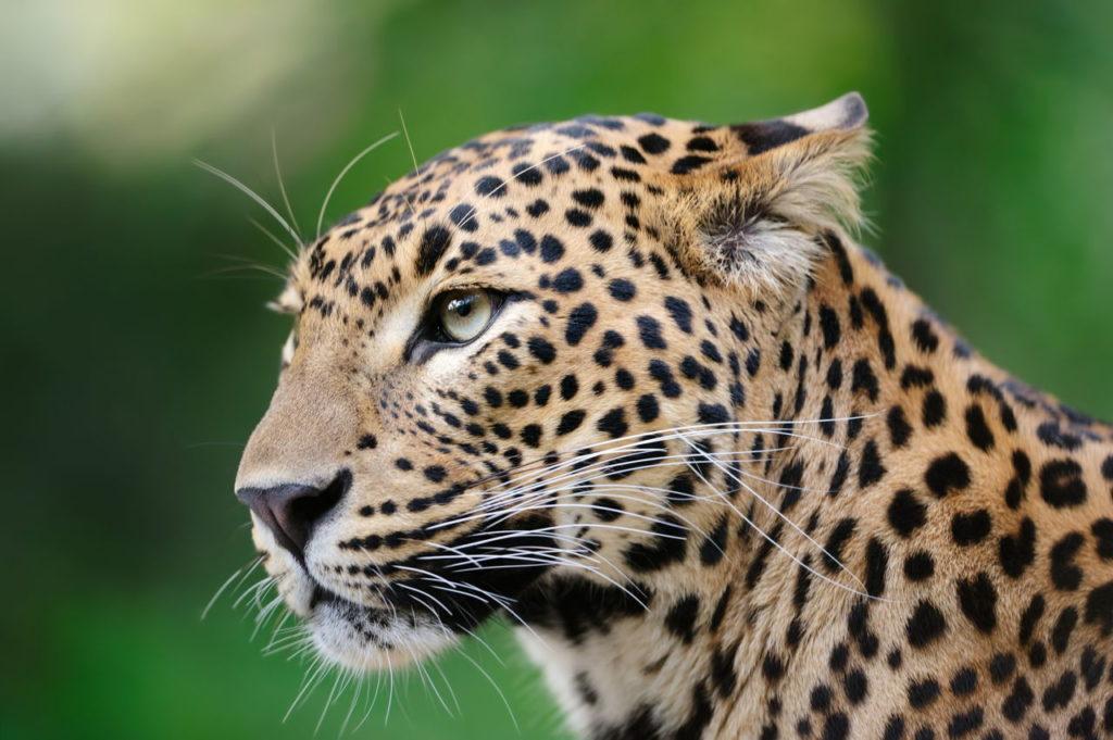 Datos que debes saber sobre los leopardos - Leopardo PORTADA