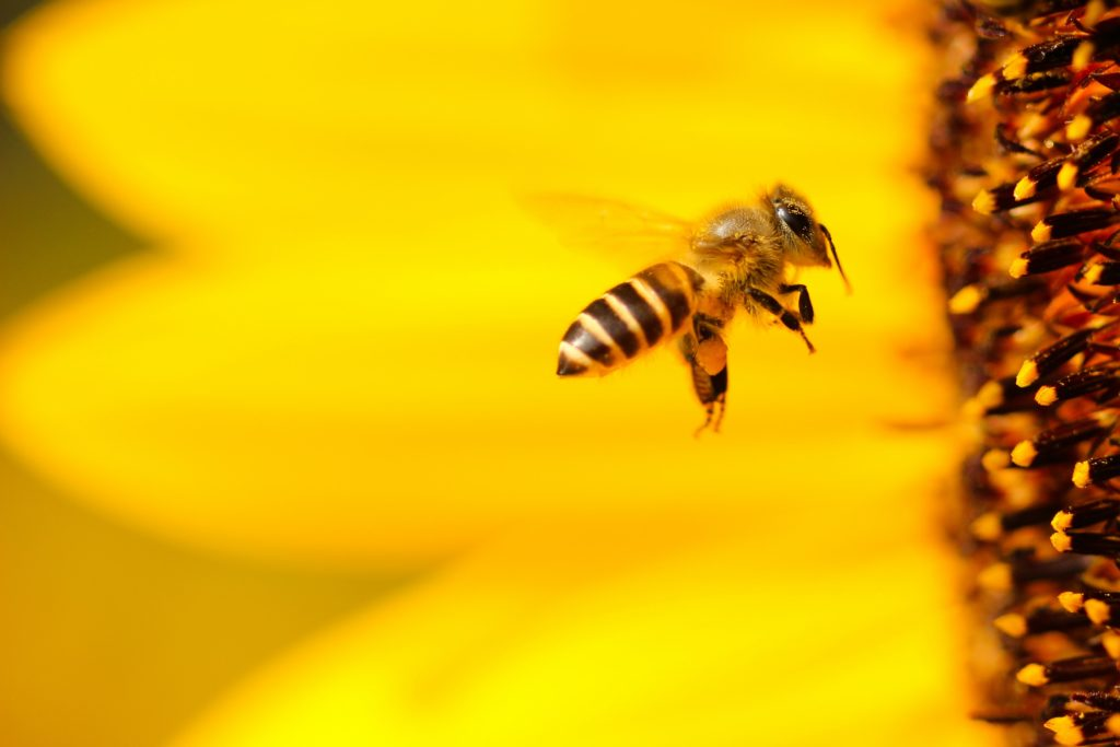 8 datos curiosos sobre las abejas - portada abejas